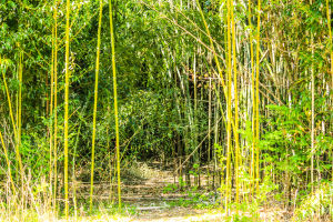 Bamboo Forest-3
